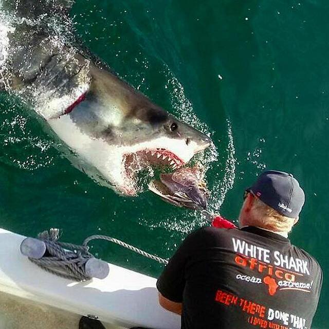 White Shark Africa Massive Animal